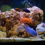freshwater fish - aulonocara nyassae - blue peacock cichlid stocking in 75 gallons tank - assorted african cichlids