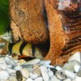 freshwater fish - botia macracantha - clown loach stocking in 32 gallons tank - Clown Loach