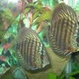 freshwater fish - symphysodon sp. - green tefe discus stocking in 45 gallons tank - My Red Turquoise