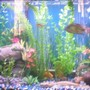 freshwater fish - thorichthys meeki - firemouth cichlid stocking in 30 gallons tank - pic