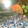 freshwater fish - carassius auratus - sarasa comet stocking in 75 gallons tank - wow