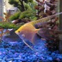 "freshwater fish - pterophyllum sp. - gold veil angel stocking in 55 gallons tank - My largest Gold Veil Angel ""Dylan"""