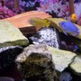 freshwater fish - labidochromis caeruleus - electric yellow cichlid stocking in 75 gallons tank - Some pics of my fish