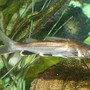 freshwater fish - hexanematichthys seemanni - silver tipped shark stocking in 110 gallons tank - Silver Tipped Shark