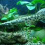 freshwater fish - lepisosteus platyrhincus - garfish stocking in 100 gallons tank - Another one of my babies!