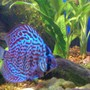 freshwater fish - symphysodon spp. - red turquoise discus stocking in 75 gallons tank - A spotted Discus