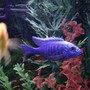 freshwater fish - sciaenochromis fryeri - electric blue hap stocking in 90 gallons tank - Good picture of my Blue Ahli