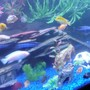 freshwater fish - albino socolofi - pseudotropheus socolofi (albino) stocking in 75 gallons tank - Group...