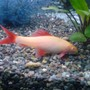 freshwater fish - epalzeorhynchos frenatus - albino rainbow shark stocking in 52 gallons tank - Albino Shark