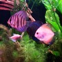 "freshwater fish - symphysodon sp. - white discus stocking in 125 gallons tank - my ""three amigos"""