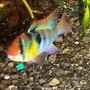 freshwater fish - papiliochromis ramirezi - german blue ram stocking in 125 gallons tank - my blue ram