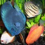 freshwater fish - symphysodon sp. - blue diamond discus stocking in 125 gallons tank - discus, Blue Diamond, red turquoise, red Marlboro, pigeon blood, fresh water clam, discus belonging to the Symphysodon aequifaciatus family,