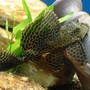 "freshwater fish - hypostomus punctatus - trinidad pleco stocking in 75 gallons tank - 8"" spotted Pleco strutting like a Peacock..."