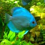 freshwater fish - symphysodon sp. - neon blue discus stocking in 85 gallons tank - my blue discus