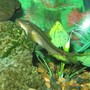 freshwater fish - gyrinocheilos aymonieri - chinese algae eater stocking in 90 gallons tank - 35 YEAR OLD