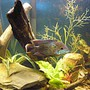 freshwater fish - aequidens rivulatus - green terror stocking in 55 gallons tank - My Green Terror Nemesis