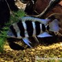 freshwater fish - cyphotilapia frontosa - frontosa cichlid stocking in 300 gallons tank - Frontosa Cichlid