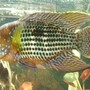 freshwater fish - aequidens rivulatus - green terror stocking in 75 gallons tank - green terror
