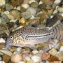 freshwater fish - corydoras nanus - nanus cory cat stocking in 20 gallons tank - A picture of one of my Cory Cats.