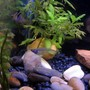freshwater fish - kryptopterus bicirrhis - ghost glass cat stocking in 10 gallons tank - Can you find the glass catfish???