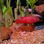 freshwater fish - hemichromis bimaculatus - jewel cichlid stocking in 160 gallons tank - Red Jewel Cichlid