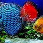 freshwater fish - blue turquoise discus stocking in 29 gallons tank - 29 gallon Bio cube pics