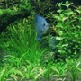 freshwater fish - symphysodon spp. - neon blue discus stocking in 80 gallons tank - Hey! how r u?