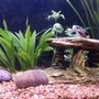 freshwater fish - corydoras arcuatus - skunk cory cat stocking in 45 gallons tank - cory cat