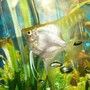 freshwater fish - pterophyllum sp. - gold veil angel stocking in 50 gallons tank - white angel