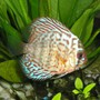 freshwater fish - blue turquoise discus stocking in 55 gallons tank - Blue Turquoise Discus cruising by
