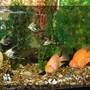 freshwater fish - heros severus x amphilophus citrinellum - blood parrot stocking in 120 gallons tank - My sweet blood parrots
