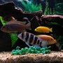 freshwater fish - cyphotilapia frontosa - frontosa cichlid stocking in 75 gallons tank - Red Top Zebra, Red Zebra, Blue Dolphin, Jacobfrebiergi, Frontosa, Hajomaylandi, Electric Yellow.