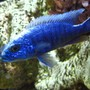 freshwater fish - sciaenochromis fryeri - electric blue hap stocking in 125 gallons tank - Hap Ahli, Electric Blue