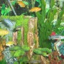 freshwater fish - melanochromis auratus - auratus cichlid stocking in 75 gallons tank - Africans