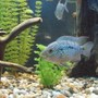 freshwater fish - nandopsis octofasciatum - jack dempsey stocking in 55 gallons tank - Electric Blue Jack Dempsey