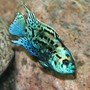 freshwater fish - nandopsis octofasciatum - electric blue jack dempsey stocking in 150 gallons tank - Electric Blue Jack Dempsey