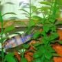 freshwater fish - maylandia zebra - blueberry stocking in 46 gallons tank - Blue-Berry