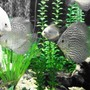 freshwater fish - symphysodon sp. - snakeskin discus stocking in 150 gallons tank - Discus
