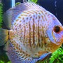 freshwater fish - symphysodon sp. - ocean green discus stocking in 150 gallons tank - Green Discus