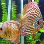 freshwater fish - symphysodon spp. - red turquoise discus stocking in 150 gallons tank - Green and Red Turquoise Discus