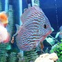 freshwater fish - symphysodon spp. - red turquoise discus stocking in 150 gallons tank - Red Turquoise Discus