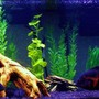 freshwater fish - astronotus ocellatus - tiger oscar stocking in 75 gallons tank - 75g South American cichlids