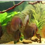 freshwater fish - symphysodon discus - heckel discus stocking in 187 gallons tank - My Heckel group