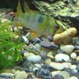 freshwater fish - papiliochromis ramirezi - german blue ram stocking in 40 gallons tank - Female German Blue Ram