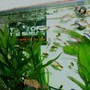 freshwater fish - hasemania nana - silver tip tetra stocking in 57 gallons tank - new tanks set up fish picture, sorry for poor quality will get new pics as soon as i have a better camera to hand