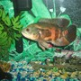 freshwater fish - astronotus ocellatus - tiger oscar stocking in 55 gallons tank - large oscar in a 40 gallon tank