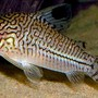freshwater fish - corydoras sp. - false julii cory cat stocking in 3 gallons tank - Just a profile pic from Google images - my Cory is too fast to capture with my Blackberry camera!