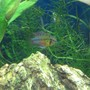 freshwater fish - apistogramma hongsloi stocking in 40 gallons tank - my hongsolei
