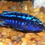 freshwater fish - melanochromis johannii - johanni cichlid stocking in 55 gallons tank - African Mbuna Cichlid.