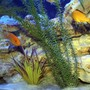 freshwater fish - labidochromis caeruleus - electric yellow cichlid stocking in 200 gallons tank - Cichlids